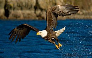 Águila Calva cazando