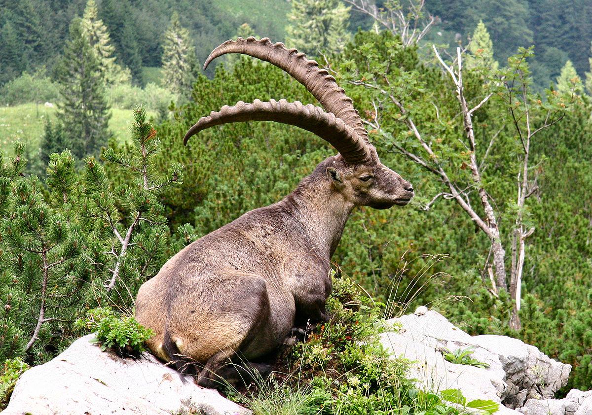 Ibice o cabra de los Alpes