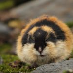 Lemming de bosque o Lemino