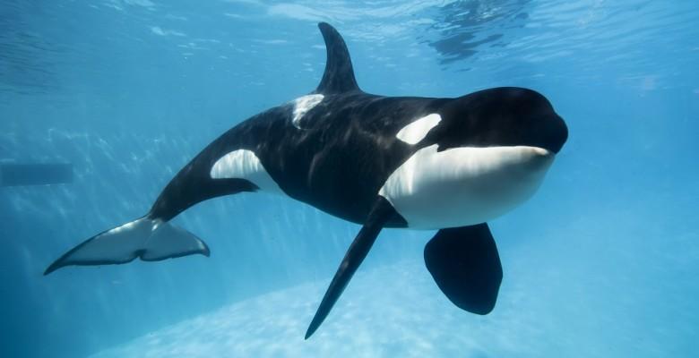 El delfín más grande: La Orca