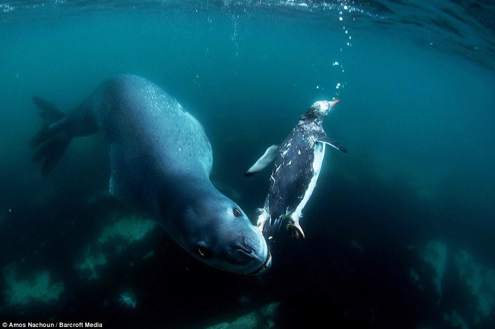 Pingüino y su depredador