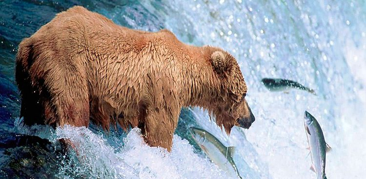 Oso Gris u Osos Grizzly cazando peces