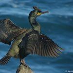 cormorán moñudo o cuervo de mar