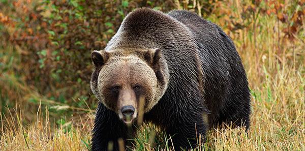 Oso Gris u Oso Grizzly