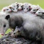 Zarigüeya y sus crías