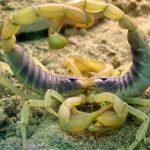 Escorpiones en la danza de apareamiento