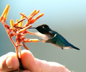 Colibrí Zunzuncito extrayendo el polen de la flor para alimentarse