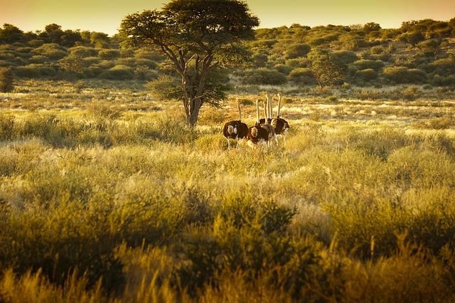 Avestruces en África